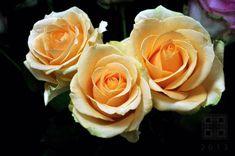 ROSES FLESH ORANGE