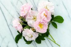 'Celsiana' Damask Rose