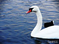 'white swan' photograph placed on canvas. #swan #canvas