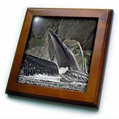 """Alaska, Hoonah, Humpback Whale, Chatham Strait - US02 PSO0723 - Paul Souders - 8x8 Framed Tile by 3dRose. $22.99. Solid wood frame. Keyhole in the back of frame allows for easy hanging.. Cherry Finish. Inset high gloss 6"""" x 6"""" ceramic tile.. Dimensions: 8"""" H x 8"""" W x 1/2"""" D. Alaska, Hoonah, Humpback Whale, Chatham Strait - US02 PSO0723 - Paul Souders Framed Tile is 8"""" x 8"""" with a 6"""" x 6"""" high gloss inset ceramic tile, surrounded by a solid wood frame with pre-drilled ke..."""