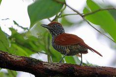 Chestnut-backed Antshrike, REGUA, Brazil | by Terathopius