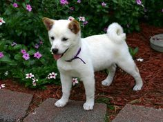 shiba inu puppy His ears! <3 I'm in love