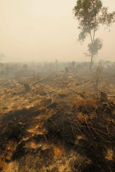 The fight goes on: Fires are still burning in Borneo as the drought continues 100% of donations to Orangutan Land Trust this week and during Orangutan Caring Week next week will go to support fire-fighting efforts by our friends at OuTrop - The Orangutan Tropical Peatland Project and Borneo Orangutan Survival. Please give at www.forests4orangutans.org/donations.