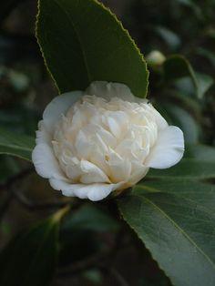 Camellia japonica subsp rusticana 'Shirokarako' (Japan, before 1788)