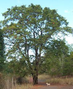 tamarindus indica - asam jawa
