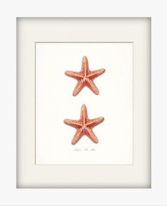 Two bright coral vintage sugar sea star sea shells adapted from a vintage illustration, digitally enhanced, colored, and added to a lightly tinted background giving this print a vintage, natural history appeal. The print shown is 8 x 10 and is centered on an 8.5 by 11 nice weight acid free watercolor paper. Matte and frame are for demonstration purposes. Your print will arrive ready for your own special touch.  Please remember that colors may vary due to monitor settings.  You can see more…