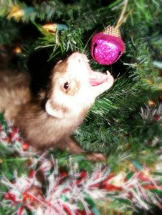 Most people think of cute pictures and laughs when you think of Christmas with your pet ferret, but this is what it is really like.