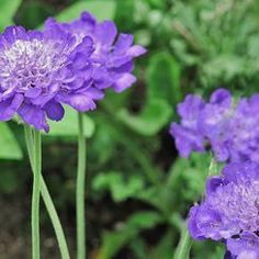 National Geographic Your Shot - Blue Scabiosa by Carole P. - perennial flower