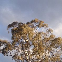 Afternoon light on a weekend. #tree #sky #gumtree #cloud #nature…