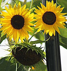 Face the Sunflower...