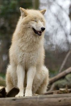 Wolf Photos, Wolf Pictures, Animal Pictures, Wolf Love, Animals And Pets, Funny Animals, Cute Animals, Beautiful Creatures, Animals Beautiful