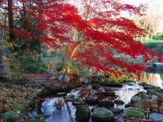 Japanese Maple with Colorful, Red Foliage at a Stream's Edge, New York Photographic Print by Darlyne A. Murawski at Art.com