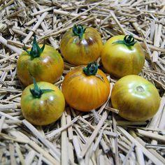 Blue Tomato Stripes of Yore ブルートマト・ストライプス・オブ・ヨール
