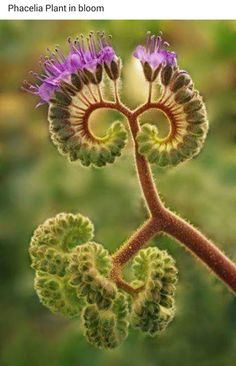 Phacelia plant begins to bloom in Death Valley. Oils in the plant can . - Phacelia plant begins to bloom in Death Valley. Oils in the plant can … Phacelia plant begins to - Unusual Flowers, Unusual Plants, Rare Flowers, Exotic Plants, Cool Plants, Amazing Flowers, Pretty Flowers, Strange Flowers, Flowers In Bloom