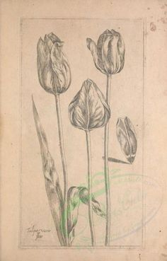 MBG Rare Books: Illustration of Tulipa vario flore . Common name(s): , Scientific name: , Botanical Drawings, Botanical Illustration, Botanical Prints, Herb Art, Robin, Illustration Botanique, Old Book Pages, Botanical Flowers, Art Clipart