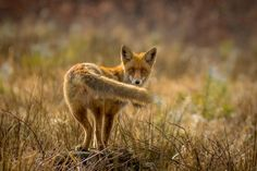 fox by dr_Alejandro on 500px