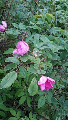 The Carelian rose start the rose season.