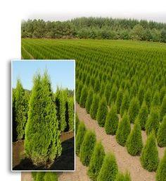 Thuja occidentalis 'Emerald Green'. Arborvitae