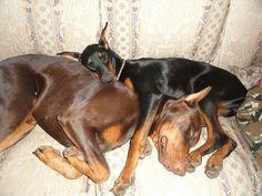 Cuddling Doberman Shepherd, Doberman Mix, Doberman Pinscher, Mini Pinscher, Pincher Dog, Mans Best Friend, Dog Owners, Dogs And Puppies, Doggies