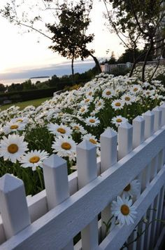 White Picket Fence & Daisies...