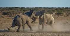 While there have been many reports of social hierarchies in female elephants, male elephants may also form hierarchies when resources- like water- are limited. Research has found that in periods of drought male elephants can form stable hierarchies that predict access to and usage of water holes, despite the fact that these relationships are not obvious in wetter seasons. Such hierarchies help reduce true aggression and risk of injury within a population.