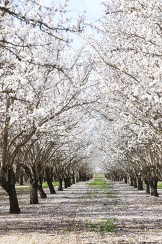 Almond orchards in bloom near Woodland, California