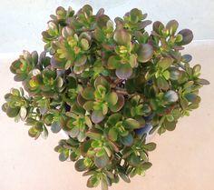 Crassula ovata Minima - Miniature Jade