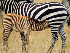 Zebra   Zebra Deseni / Zebra Pattern