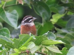 a meadow bunting or ホオジロ in Japanese. 28 June 2016