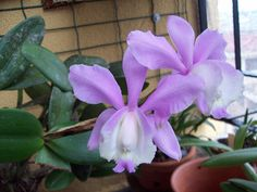 Cattleya loddigesii var. harissoniana