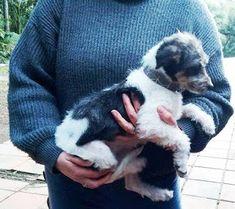 Adote, Não Compre!: Porto Alegre/RS! Pitchula Fox Terrier pra adoção! Contato: nivialo.animaisabandonados@gmail.com