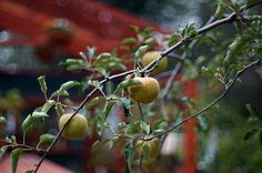 apple tree - りんごの木