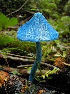 Sky Blue Mushroom ~ Entoloma Hochstetteri