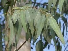 Eucalipto para respirar mejor - Plantas medicinales|Hierbas medicinales | Agroindustria Sostenible | Scoop.it