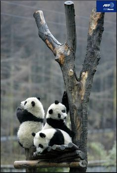Panda Treehouse