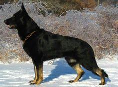 Bi Colored German Shepherd
