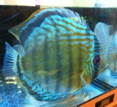 Wild Discus Uatuma Blue Tropical Fish Cichlid Beautiful Rare at Aquarist Classifieds Discus Aquarium, Discus Fish, Freshwater Aquarium, Beautiful Fish, Cichlids, Tropical Fish, Pet Shop, Under The Sea, Fresh Water