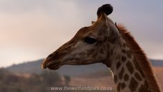 Stunning sunsets that even the Giraffes watch at Hluhulwe-Imfolozi game Reserve.