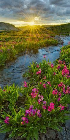 Alpine Primrose- San Juan Mountains - Colorado « Igor Menaker Fine Art Photography