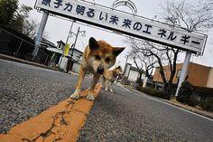 ゴーストタウンになった町では、見捨てられて飢えた犬が野犬になっていた。=4月7日、福島県双葉町撮影:森住卓