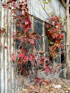 window with fall vines