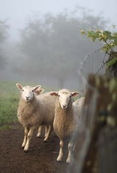 Picture perfect .... sheep in the mist