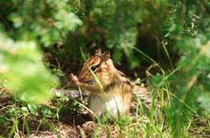 Streifenhörnchen - Auch als Haustier geeignet?...