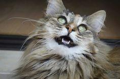 Diva norwegian forest cat