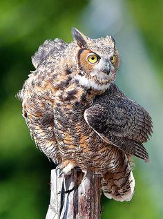 Great Horned Owl .