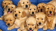 Golden Retriever puppies are seriously the cutest there are! Golden Retriever puppies are seriously the cutest there are! The Animals, Cute Baby Animals, Funny Animals, Nature Animals, Wild Animals, Farm Animals, Puppy Pictures, Funny Animal Pictures, Dog Photos