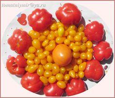 мои томаты Костолюто флорентино и Золотая кисть