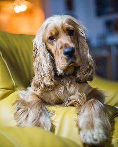 """Mi piace"": 323, commenti: 10 - Benny The Dog (@adventurous_benny) su Instagram: ""Mum says I'm cute so I gotta trust her on that ✨"""