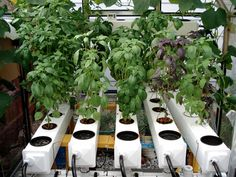 Hydroponic basil growing in a AeroFlo system by General Hydroponics.