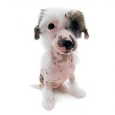 Artlist Collection: THE DOG  Chinese Crested Dog